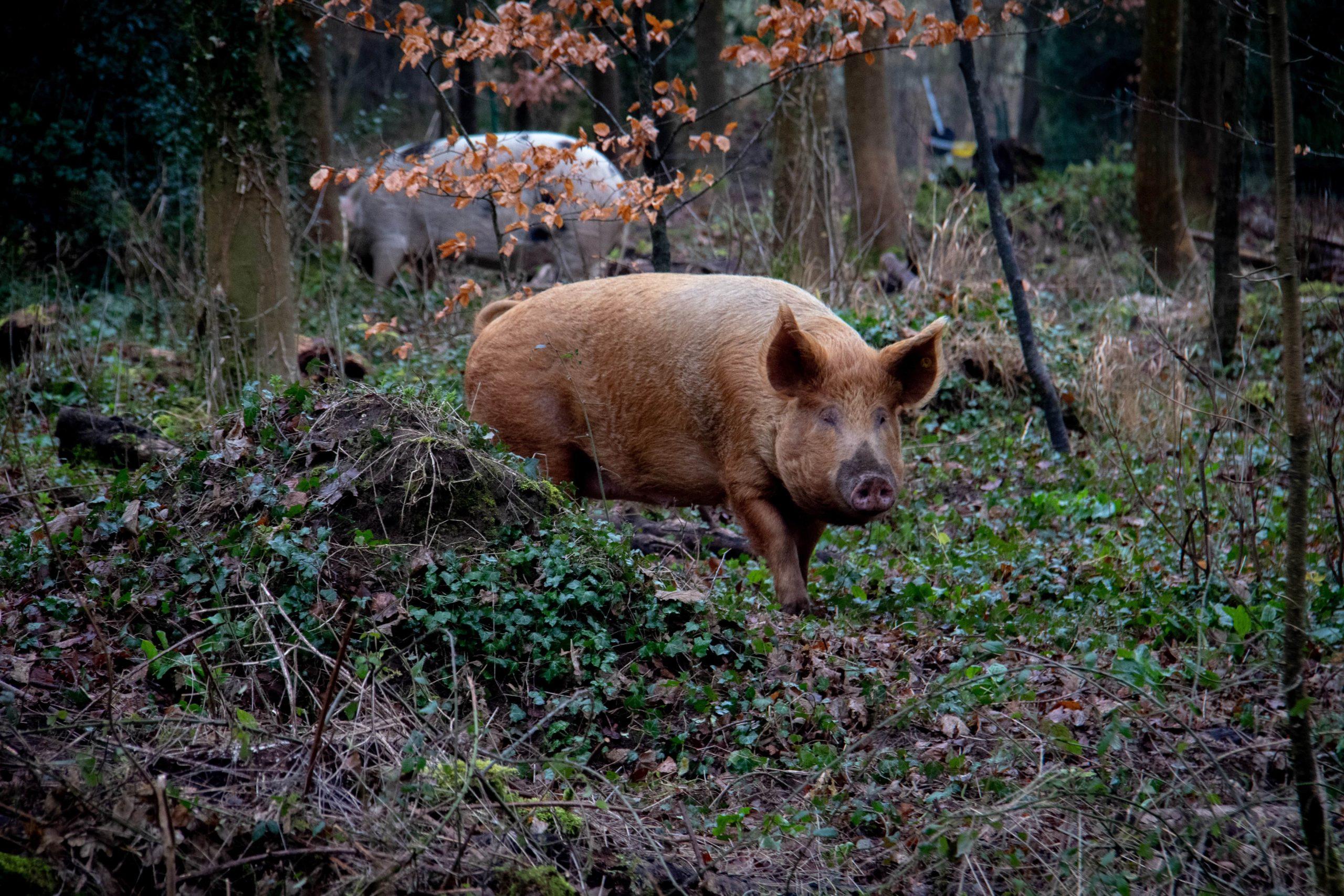 Peste porcine africaine: mesures de sortie de crise
