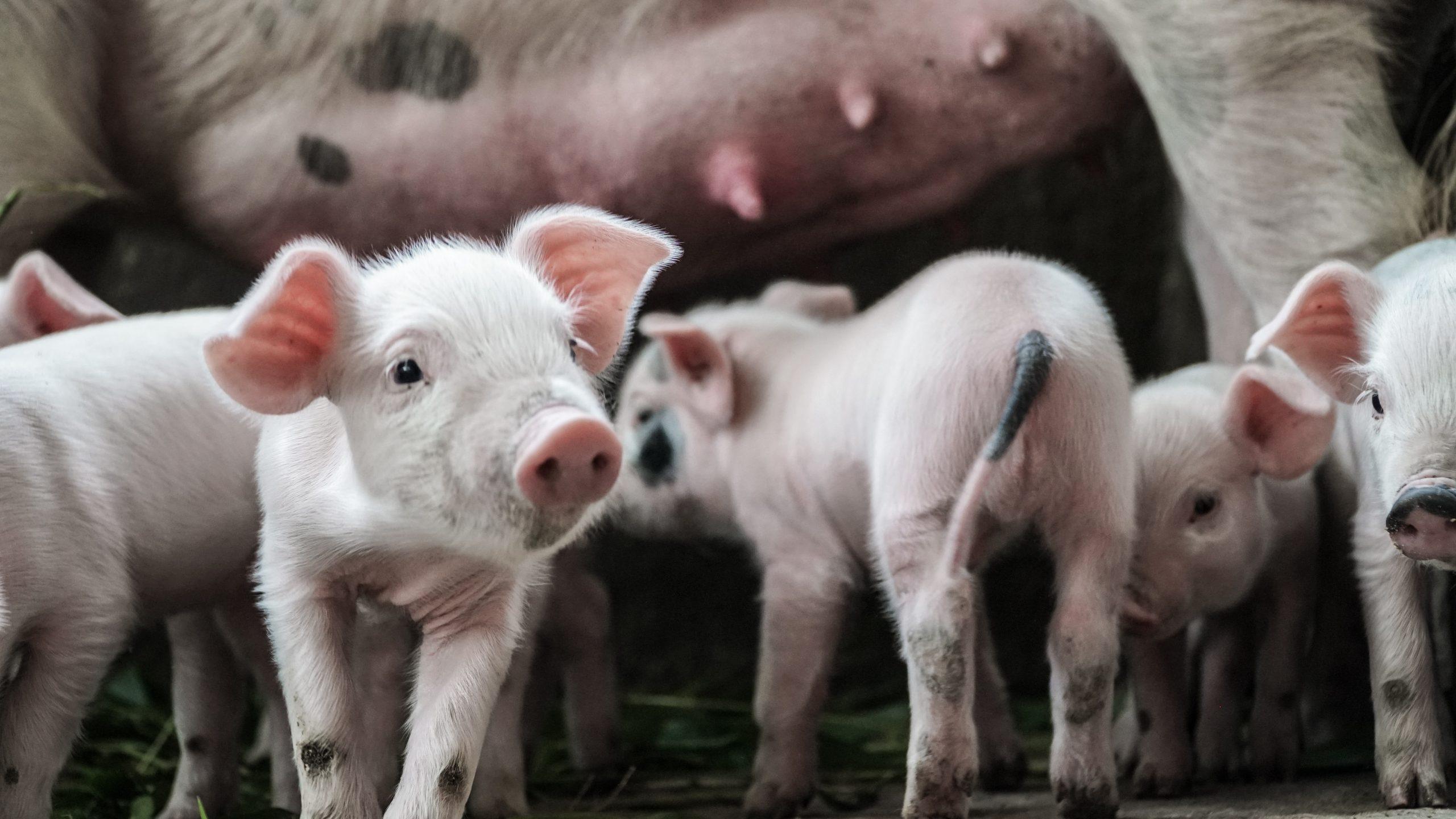 Soutien aux éleveurs de porcs gaumais pour relancer la filière en zone touchée par la Peste Porcine Africaine