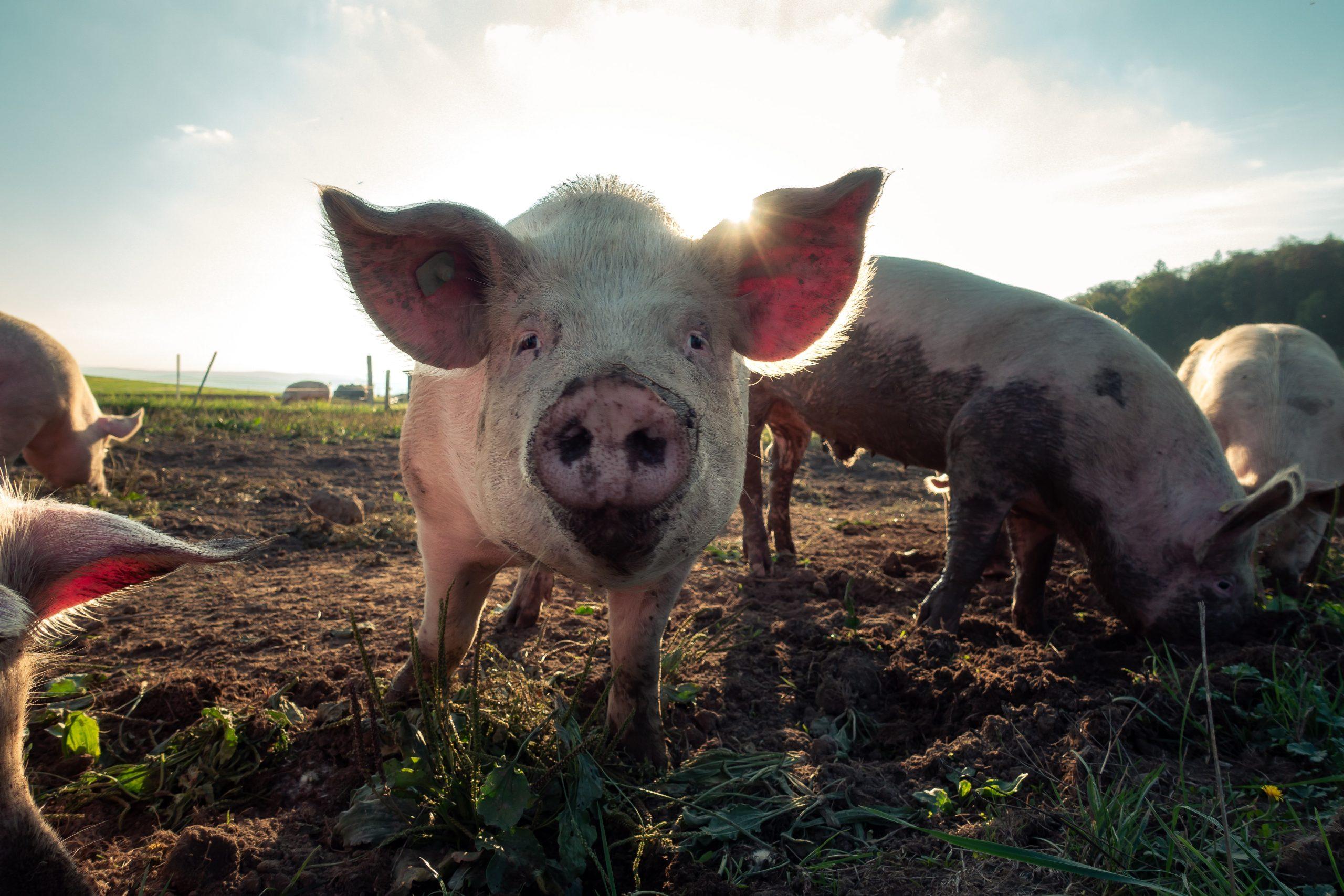 Le Gouvernement souhaite aider le secteur porcin